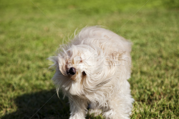 Toy Poodle Dog Shaking Head in the Park Stock photo © eldadcarin