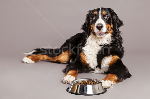 Stock photo: Bernard Sennenhund with Food Bowl at Studio