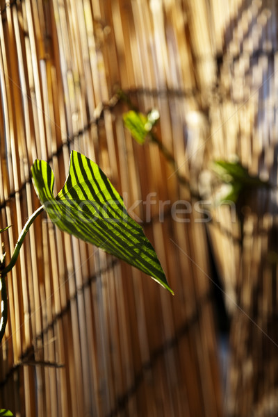 Afternoon Climber Leaf Stock photo © eldadcarin