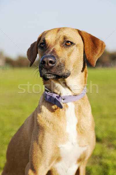 Mixed Breed Dog Portrait in the Park Stock photo © eldadcarin