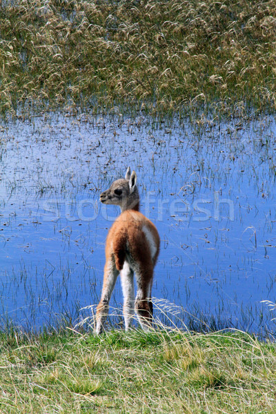 Llama Cub by the Water Stock photo © eldadcarin