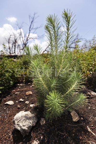 Pinheiro jovem broto crescente rápido Foto stock © eldadcarin
