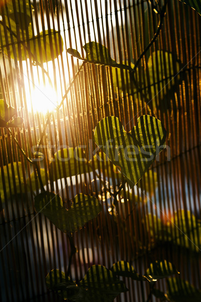 Sunset Climber Leaf Stock photo © eldadcarin