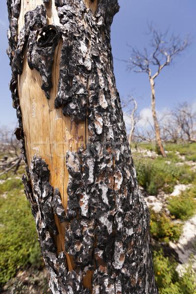 Spektakularny pożar lasu zielone Zdjęcia stock © eldadcarin