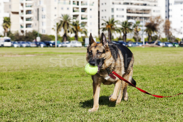German Shepherd Dog with Tennis Ball at the Park Stock photo © eldadcarin
