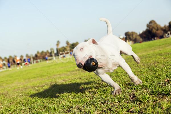 Bika terrier fut park játék fű Stock fotó © eldadcarin