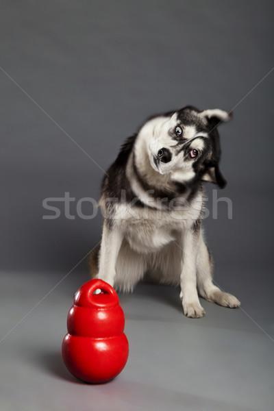 Siberian Husky Studio Portrait Shaking Head with Toy Stock photo © eldadcarin