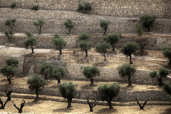 Terraced Olive Grove Stock photo © eldadcarin