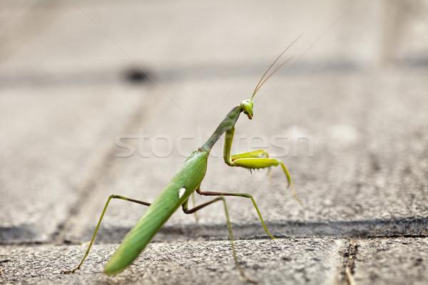 Urban Praying Mantis Stock photo © eldadcarin