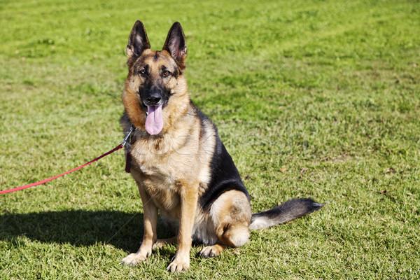 羊飼い 犬 肖像 公園 座って 草 ストックフォト © eldadcarin