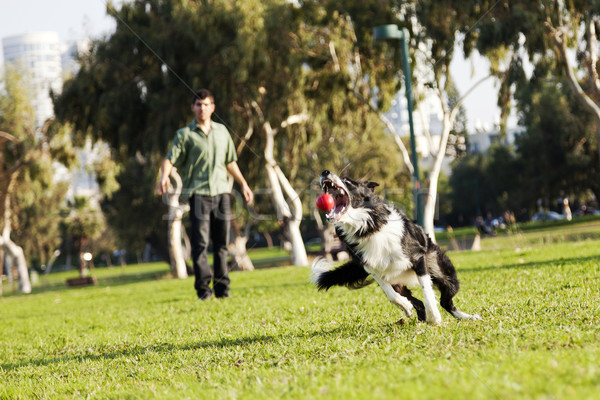 Border Collie Catching Dog Ball Toy at Park Stock photo © eldadcarin