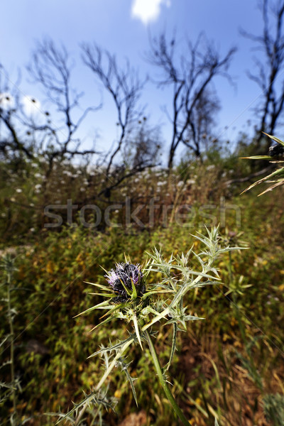 Stock photo: Blessed Milk Thistle