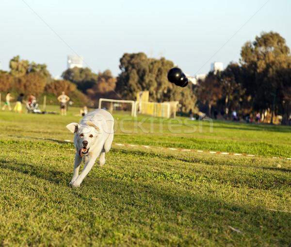 Labrador brinquedo parque misto feminino cão Foto stock © eldadcarin