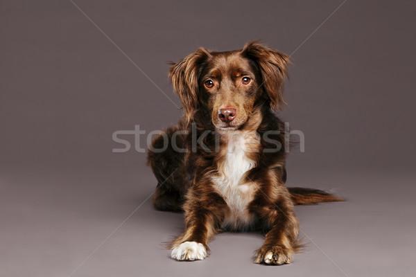 Estúdio retrato marrom cão doce bonitinho Foto stock © eldadcarin