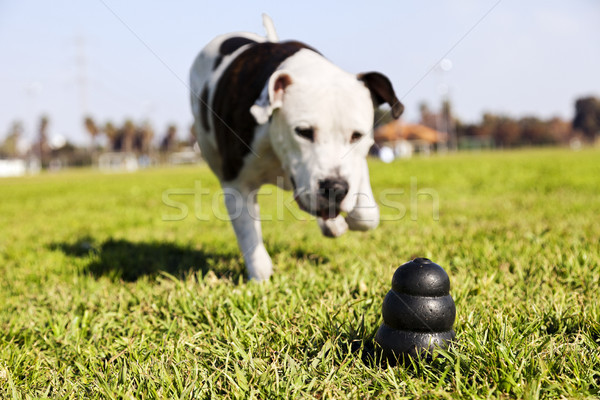 Stock photo: Running to Dog Toy on Park Grass