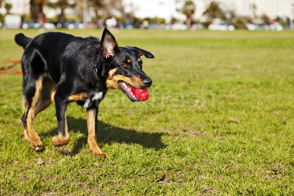 Beauceron / Australian Shepherd Dog with Toy at the Park Stock photo © eldadcarin