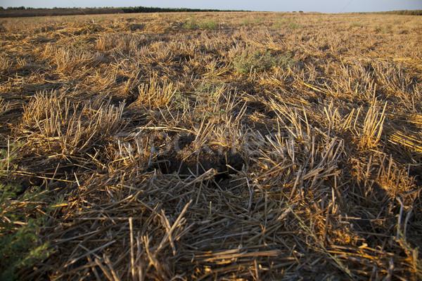 Nyár mező közelkép zárt föld szint Stock fotó © eldadcarin