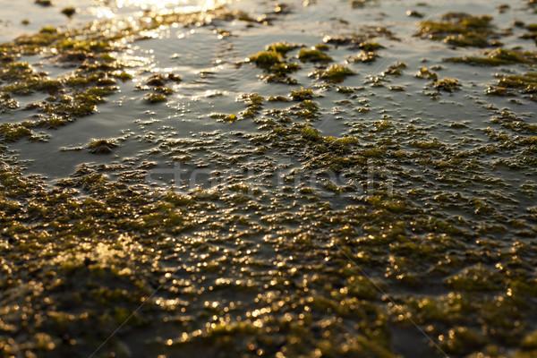 Algae Rock Stock photo © eldadcarin