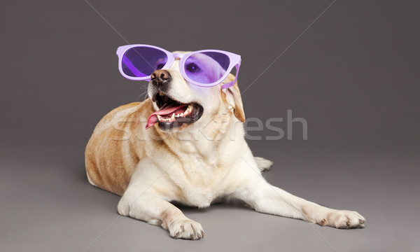 Studio portrait of a white Labrador wearing oversized funny violet  plastic glasses, and looking up  Stock photo © eldadcarin