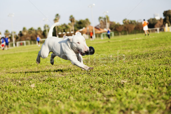 Bull Terrier Running in the Park with Toy Stock photo © eldadcarin