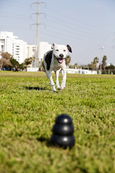 Stock photo: Pitbull Running Towards Dog Chew Toy at the Park