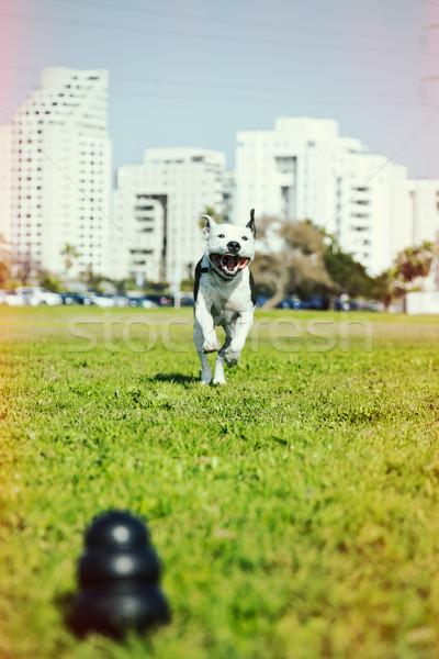 Pitbull fut kutya játék park fű Stock fotó © eldadcarin
