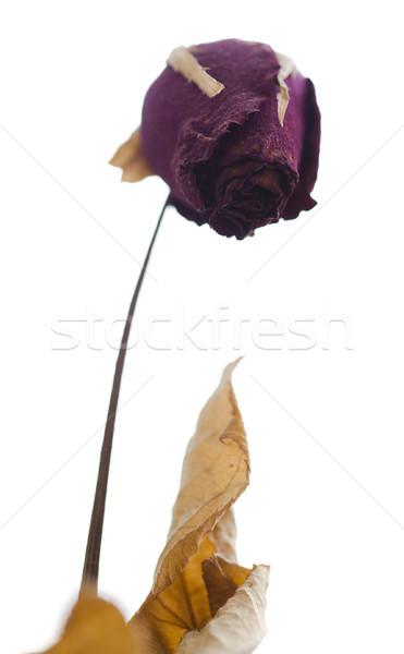 Isolated Dry Rose Stock photo © eldadcarin