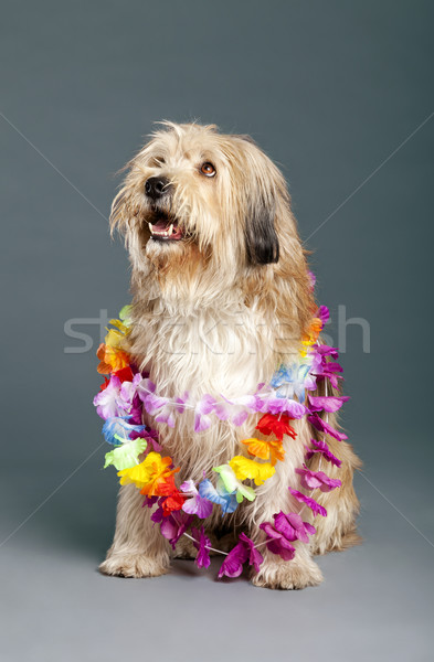Mixed-Race Dog with Hawaii Necklace in Studio Stock photo © eldadcarin