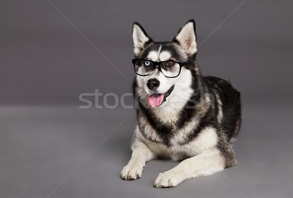 Husky stúdió portré hipszter szemüveg női Stock fotó © eldadcarin