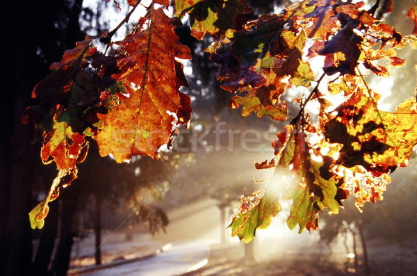 Autumn Leaf at Dawn Stock photo © eldadcarin