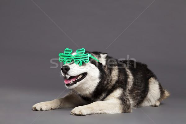 Husky studio ritratto verde trifoglio occhiali Foto d'archivio © eldadcarin