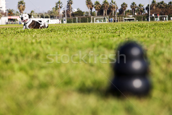 Stock photo: Pitbull Resting in Park by Dog Chew Toy