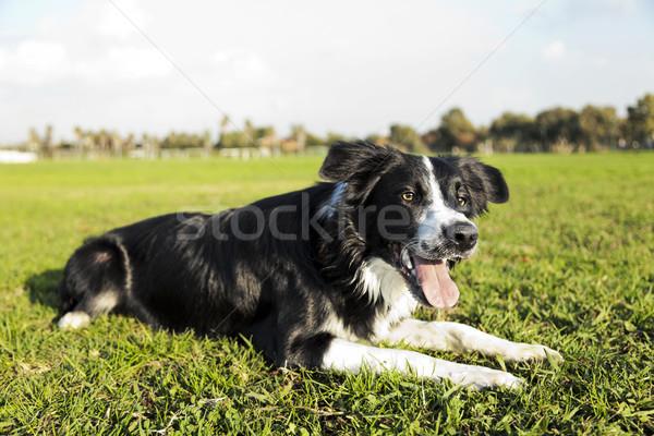 Border collie psa parku trawy posiedzenia Zdjęcia stock © eldadcarin