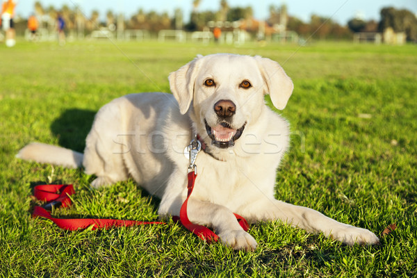 Mixed Labrador Dog Portrait at the Park Stock photo © eldadcarin