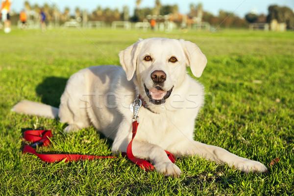 Vegyes labrador kutya portré park ül Stock fotó © eldadcarin