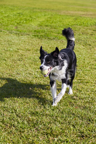 Border Collie Dog with Tennis Ball at Park Stock photo © eldadcarin