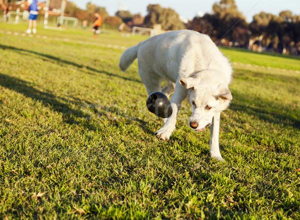 Labrador játék park vegyes női kutya Stock fotó © eldadcarin