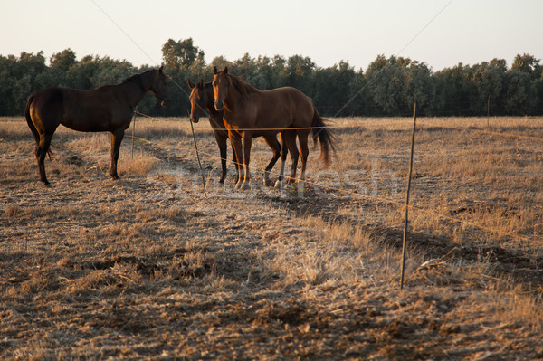 Cavalo campo três cavalos dois Foto stock © eldadcarin