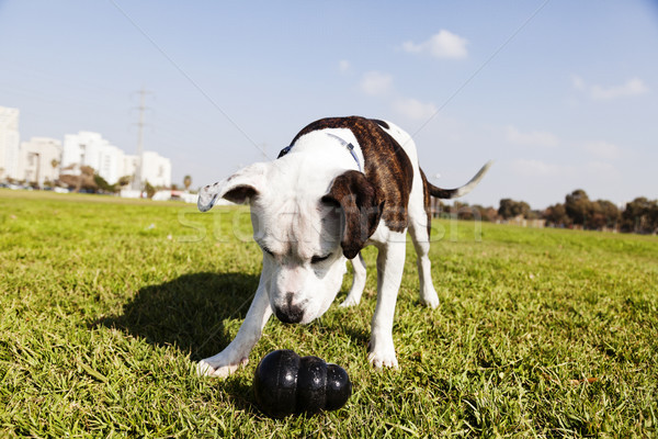 Pitbull Dog with Chew Toy at the Park Stock photo © eldadcarin