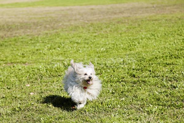 игрушку пудель работает парка счастливо трава Сток-фото © eldadcarin
