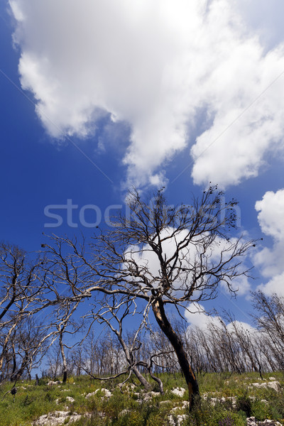 Stock photo: Burnt Forest on a Hill