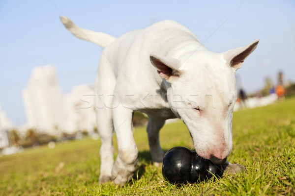 Bull Terrier with Chew Toy in Park Stock photo © eldadcarin