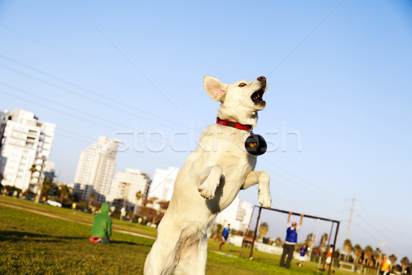 Labrador Jumping After Chew Toy in Park Stock photo © eldadcarin