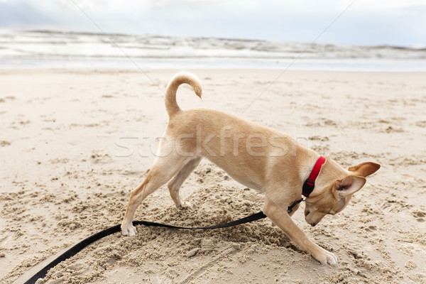 Puppy Digging at the Beach Stock photo © eldadcarin