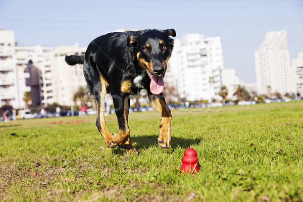 Beauceron / Australian Shepherd Running after Dog Chew Toy Stock photo © eldadcarin