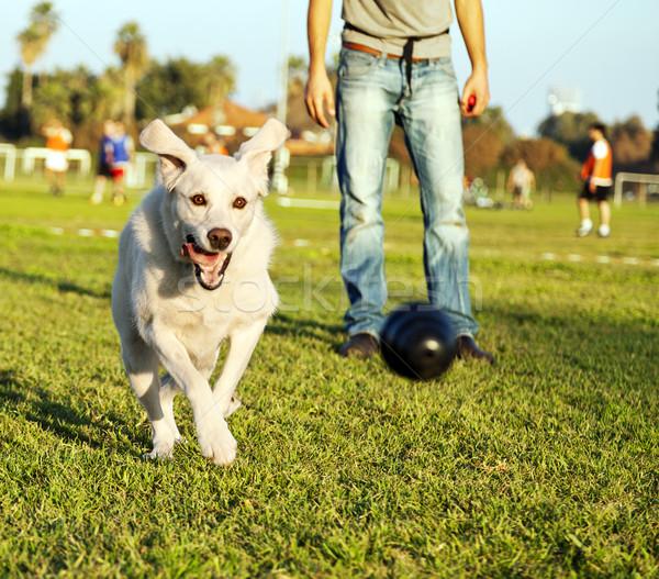 Labrador Running After Chew Toy in Park Stock photo © eldadcarin