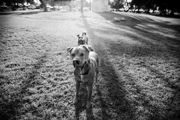 Due cani parco grandangolo view piedi Foto d'archivio © eldadcarin