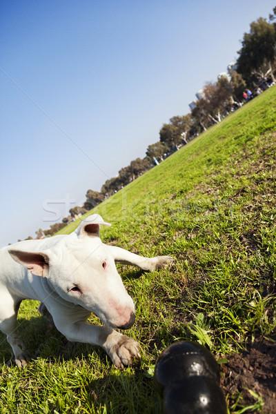 Touro terrier brinquedo parque cão céu Foto stock © eldadcarin
