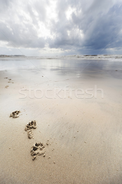 Canine Footsteps on Winter Beach Stock photo © eldadcarin