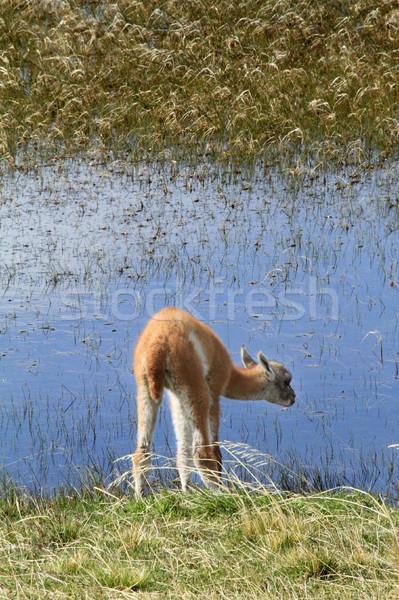 Láma medvebocs ital víz tó dél-amerika Stock fotó © eldadcarin